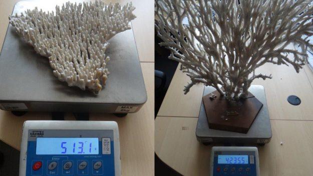 Ponad 6 kg koralowca ujawniono podczas kontroli granicznej w Medyce